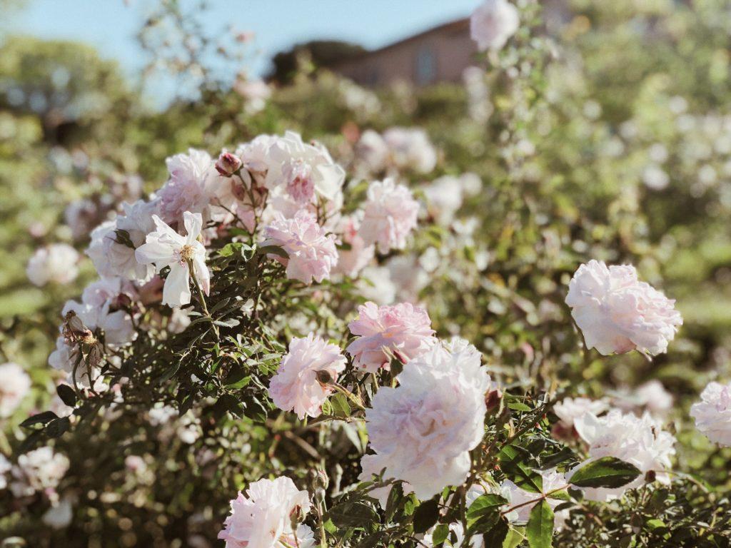 Сад роз Рим