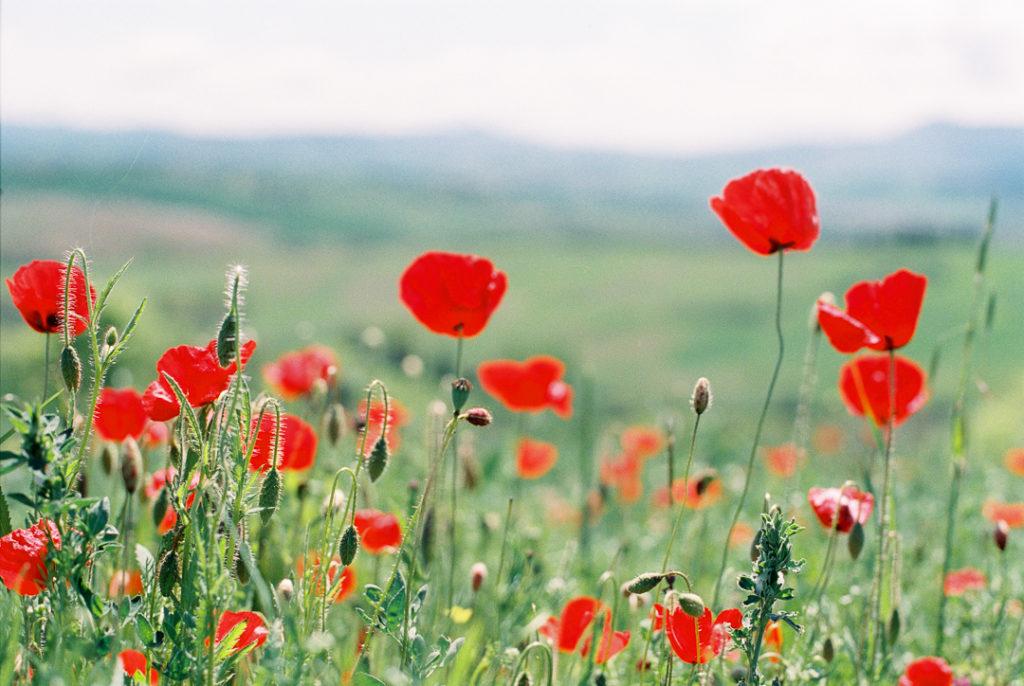 цветение маков в Тоскане