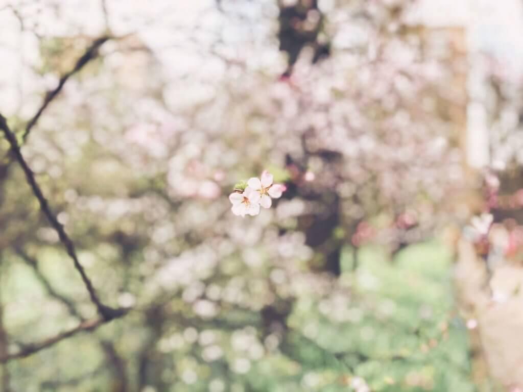 цветение сакуры в Аптекарском огороде