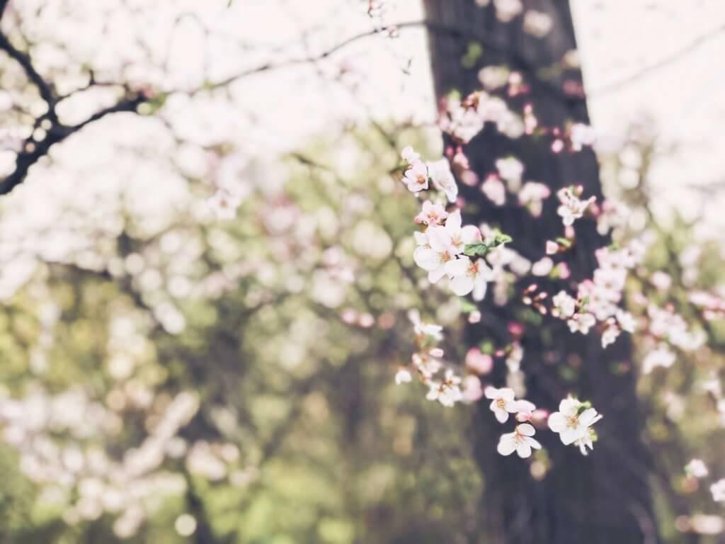 цветение сакуры в Москве