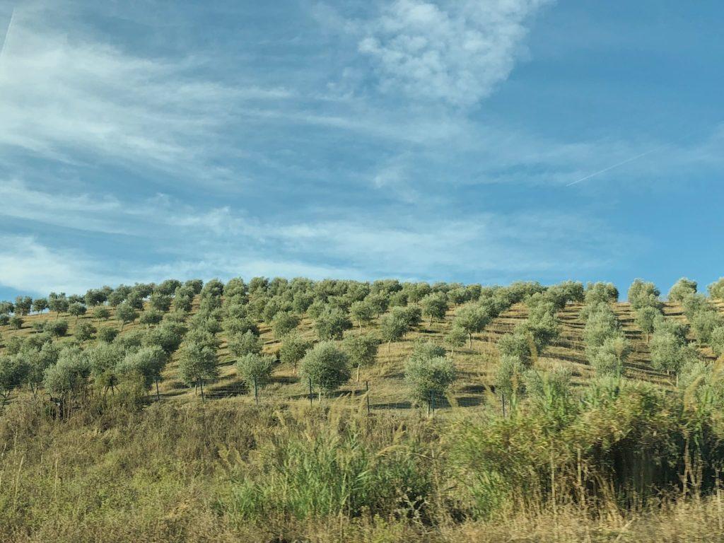 оливковые рощи вдоль дороги